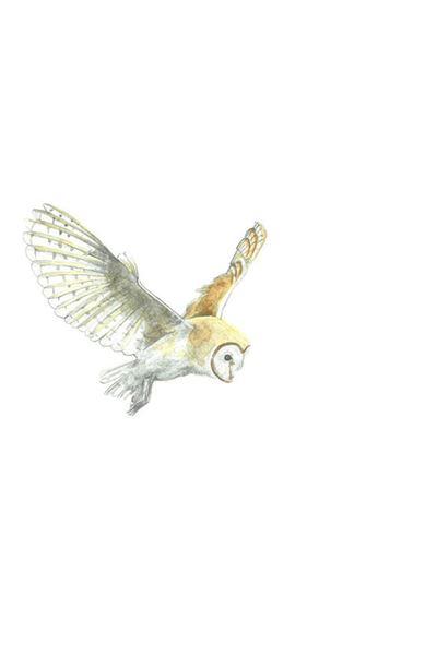Picture of Hannah Longmuir Print - Barn Owl